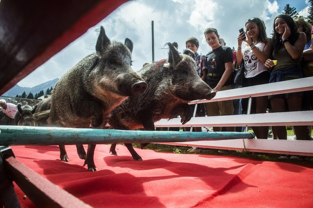 Two race pigs jump over an obstacle during a rural festivity in reference to Maria Ascension in San Bernardino, Switzerland on Monday, August 15 2016.  (Photo by Samuel Golay/Keystone/TI-Press via AP Photo)
