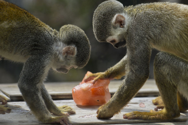 Titi monkeys eat fruit ice-cream at the zoo in Cali, Colombia, on September 16, 2015. Cali's zoo gives ice-cream to animals to counteract the high temperatures in the region. (Photo by Luis Robayo/AFP Photo)