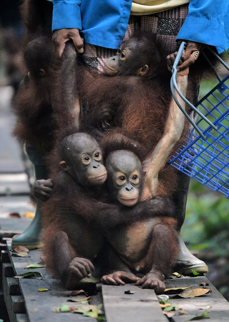 """This picture taken on August 4, 2016 shows orphaned orangutan babies holding on their animal welfare workers legs as they travel from """"jungle school"""" to their lunch area at the International Animal Rescue centre outside the city of Ketapang in West Kalimantan. (Photo by Bay Ismoyo/AFP Photo)"""