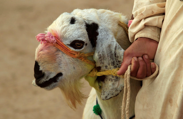 A man holds a goat after it was purchased at the animal market ahead of the Eid al-Adha festival in Islamabad, Pakistan, September12, 2016. (Photo by Fayaz Aziz/Reuters)