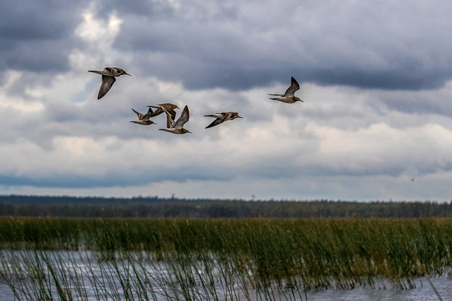 Waders fly over Lake Kalgachinskoye at Vodlozersky National Park in the north of Russia, Arkhangelsk Region on September 6, 2020. Spanning across a total area of 0.5 mln ha in Pudozhsky District of the Republic of Karelia and Onezhsky District of Arkhangelsk Region, the park is enlisted in UNESCO's World Network of Biosphere Reserves. (Photo by Ilya Timin/TASS)
