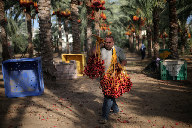 A Palestinian farmer carries dates from palm trees during harvest in southern Gaza September 25, 2016. (Photo by Ibraheem Abu Mustafa/Reuters)