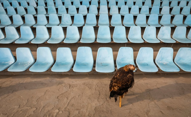 A tamed golden eagle sits at a grandstand during the annual hunters competition at Almaty hippodrome, Kazakhstan on February 8, 2018. (Photo by Shamil Zhumatov/Reuters)