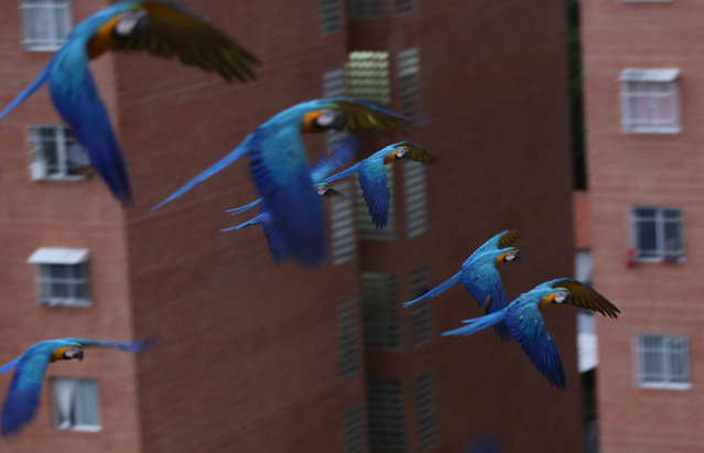 In this November 24, 2014 photo, macaws fly over the city in Caracas, Venezuela. Macaws are thriving amid the high-rises and traffic of Caracas thanks to a group of amateur birders who feed them and watch out for their nests. Visitors to Venezuela's capital soon grow accustomed to lifting their heads at dusk and dawn to see the stately birds glide by, usually in a pair. (Photo by Ariana Cubillos/AP Photo)