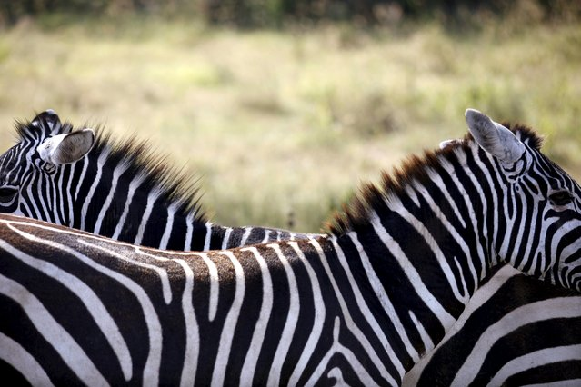 Zebras stand next to each other in Lake Nakuru National Park, Kenya, August 20, 2015. (Photo by Joe Penney/Reuters)