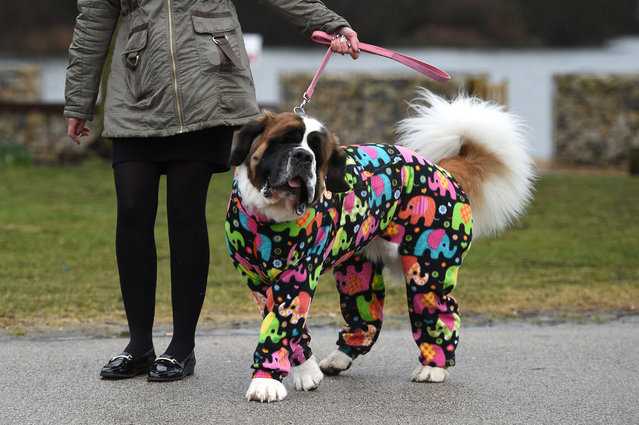 Lola, a 4 year old St Bernard arrives with its owner on the first day of the Crufts dog show at the National Exhibition Centre in Birmingham, central England, on March 8, 2018. (Photo by Oli Scarff/AFP Photo)
