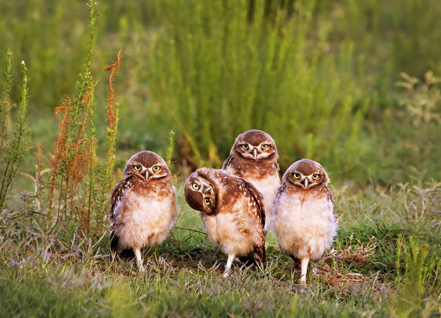 Four pigeon burrowing owls stare directly at photographer Mario Gustavo Fiorucci and one appears to tilt it's head to get a better look, Santa Rosa, Argentina. (Photo by Mario Gustavo Fiorucci/Barcroft Images/Comedy Wildlife Photography Awards 2016)
