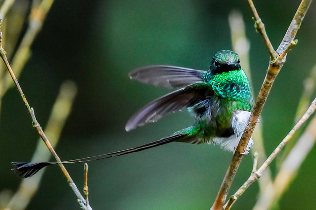 A booted racket- tail hummingbird (Chlorophanes spiza) is photographed at the Cloud Forest of San Antonio, in the rural area of Cali, department of Valle del Cauca, Colombia, on March 1, 2018. With over 1,900, Colombia is the country with the largest number of bird species in the world. (Photo by Luis Robayo/AFP Photo)