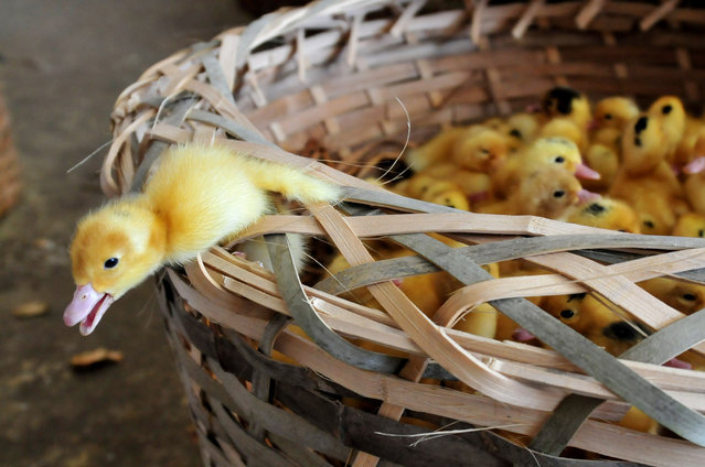This photo taken on April 14, 2013 shows a duckling trying to climb out of a basket in a duck farm in Zhangzhou, south China's Fujian province. The duck farm has had to kill more than 400 thousand new born little ducks every week after H7N9 bird flu affected the domestic poultry market. Chinese state media on April 15 urged people to keep eating chicken and help revive the poultry industry, which lost 1.6 billion USD (10 billion yuan) in the week after the H7N9 bird flu virus began infecting humans. (Photo by AFP Photo)