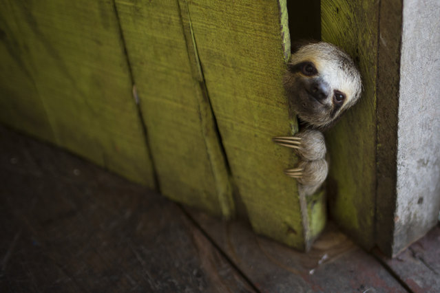 "In this May 20, 2014 file photo, a female baby sloth peeks out from behind a door on a floating house in the ""Lago do Janauari"" near Manaus, Brazil. The sloth was captured by the owner of the floating house, who makes a living showing local fauna to visitors. In an an attempt to prevent any harm to the animals he says he only keeps each animal for a few weeks before returning it to it's natural habitat. (Photo by Felipe Dana/AP Photo)"