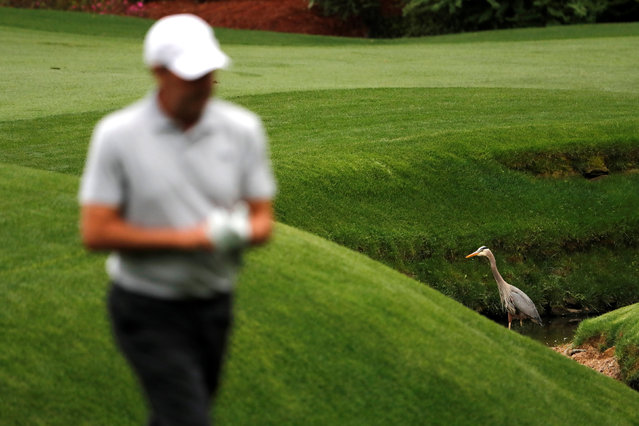 Jose Maria Olazabal of Spain walks past a great blue heron as he makes his way to the 13th green during the final day of practice for the 2018 Masters golf tournament at Augusta National Golf Club in Augusta, Georgia, U.S. April 4, 2018. (Photo by Jonathan Ernst/Reuters)