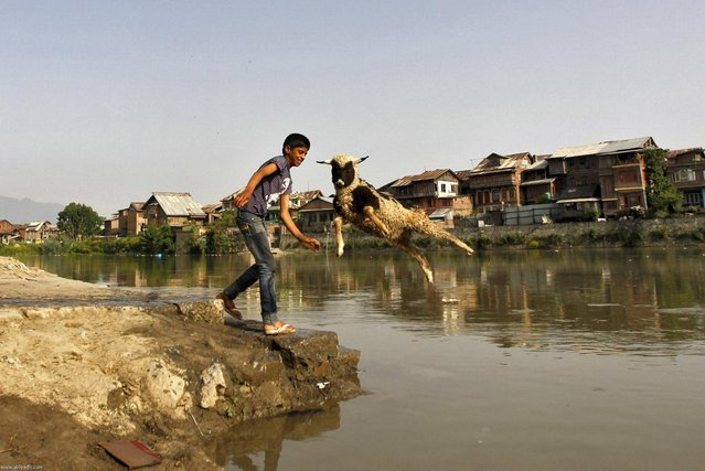 A boy throws a sheep into the waters of Jhelum river to wash it, in Srinagar May 20, 2013. (Photo by Danish Ismail/Reuters)