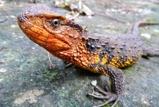 A Vietnamese crocodile lizard, one of the 115 new species, including 11 amphibians, 2 fish, 11 reptiles and 88 plants, that were discovered in the Greater Mekong region in 2016. (Photo by Thomas Ziegler/WWF/PA Wire)