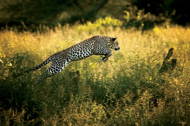 In a hunting game with her mother, a young leopard leaps through tall grass on the Okavango Delta Chiefs Islands, Botswana, 2004. (Photo by Beverly Joubert/National Geographic)
