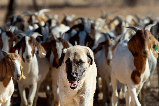 Anatolian Shepherd dog Bonzo (C) leads a herd of goats on Retha Joubert's farm near near Gobabis, east of the capital Windhoek, on August 15, 2013. Five-year old Bonzo is part of the Cheetah Conservation Fund (CCF) which breeds the dogs near northern city Otjiwarongo. The dog's behavior, harnessed in Turkey thousands of years ago, saves sheep and goats. But it has also handed a lifeline to Namibia's decimated cheetah numbers by reducing conflicts between farmers and predators. The center started breeding the livestock dogs to promote cheetah-friendly farming after some 10,000 big cats – the current total worldwide population – were killed or moved off farms in the 1980s. (Photo by Jennifer Bruce/AFP Photo)