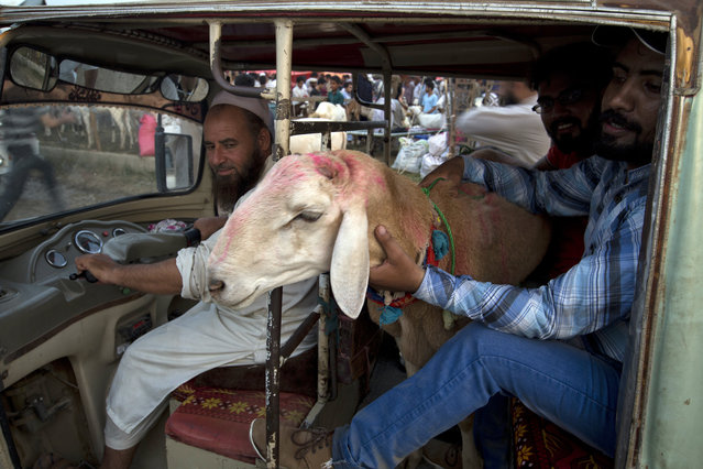 Pakistani customers carry a goat they bought for the upcoming Muslim festival Eid al-Adha in rickshaw in Islamabad, Pakistan, Monday, August 20, 2018. Eid al-Adha, or Feast of Sacrifice, is the most important Islamic holiday and marks the willingness of the Prophet Ibrahim (Abraham to Christians and Jews) to sacrifice his son. (Photo by B.K. Bangash/AP Photo)