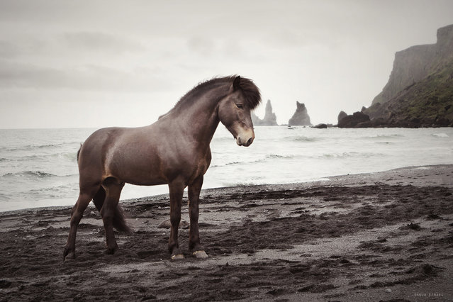 """Spuni. Icelandic Stallion at Vík in Iceland"". (Photo by Gigja Einarsdottir)"