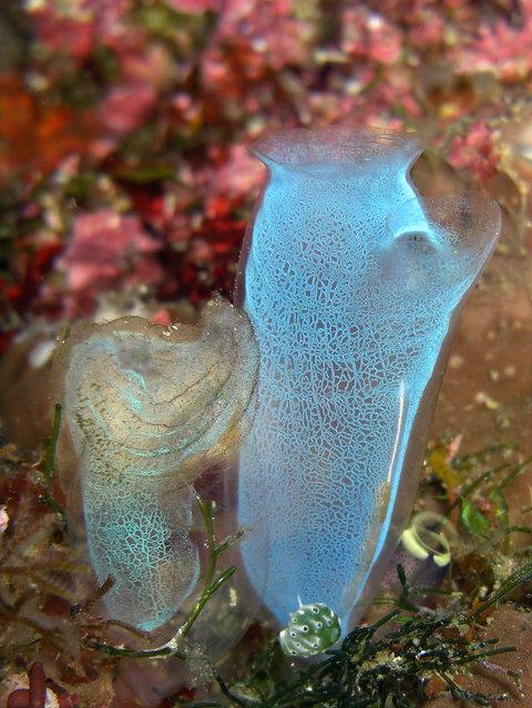 Sea Squirt. (Photo by David M. Hogan)