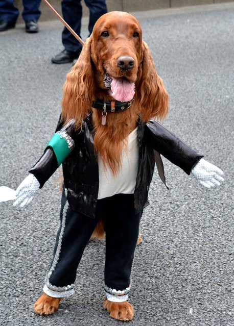 An Irish setter wearing a Michael Jackson costume takes part in a St. Patrick's Day parade in Tokyo on March 15, 2015. More than 1,000 people took part in the parade to commemorate the Irish patron Saint Patrick, which is usually marked on March 17. (Photo by Kazuhiro Nogi/AFP Photo)