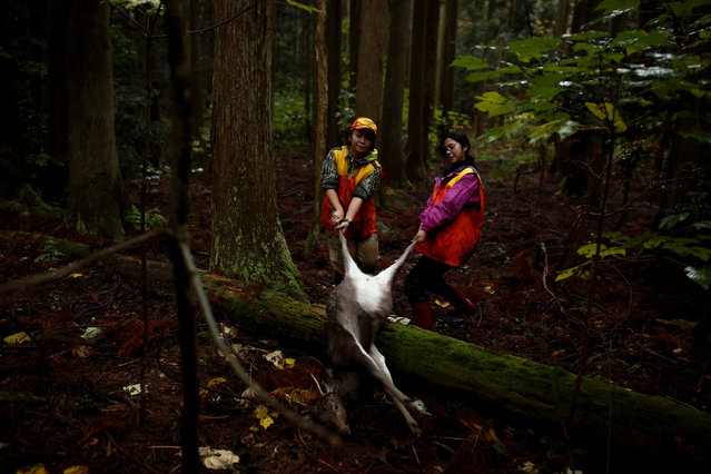 Hunters Chiaki Kodama (R) and Aoi Fukuno drag a deer that Kodama shot through a forest outside Oi, Fukui Prefecture, Japan, November 17, 2016. (Photo by Thomas Peter/Reuters)