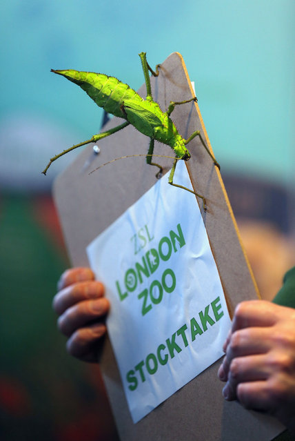 A keeper records a Jungle Nymph stick insect during ZSL London Zoo's annual stocktake of animals on January 2, 2014 in London, England. The zoo's annual stocktake requires keepers to check on the numbers of every one of the 800 different animals species held, including every invertebrate, bird, fish, mammal, reptile, and amphibian. (Photo by Oli Scarff/Getty Images)