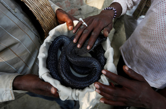 A snake charmer holds a cobra, which was caught in a house in a near-by village, in Jogi Dera (snake charmers settlement), in the village of Baghpur, in the central state of Uttar Pradesh, India November 9, 2016. (Photo by Adnan Abidi/Reuters)