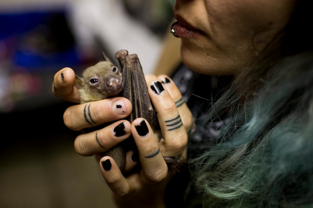 Nora Lifschitz holds a wounded Egyptian fruit bat in her apartment in Tel Aviv, Israel, 29 February 2016. (Photo by Abir Sultan/EPA)
