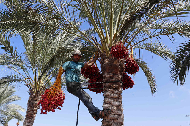 """A Palestinian farm worker climbs a palm tree to harvest dates on a farm in Deir el-Balah, central Gaza Strip, Thursday, September 30, 2021. The harvesting season for dates usually starts at the beginning of October, after the first rain. The community of Deir El Balah takes its name from the word """"Balah"""", an Arabic word for dates. (Photo by Adel Hana/AP Photo)"""