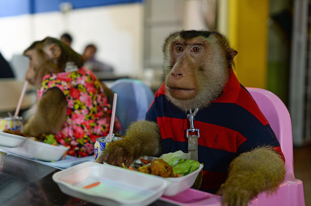 "This photo taken on April 25, 2015 shows a pet male monkey named ""JK"" (R) and his partner ""Shaki"" (L) eating dinner at a restaurant in Kuala Lumpur. (Photo by Mohd Rasfan/AFP Photo)"