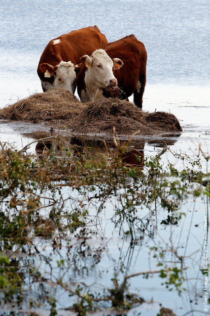 Cattle stand in high water on a flooded farm after Hurricane Ike hit September 15, 2008 in Winnie, Texas