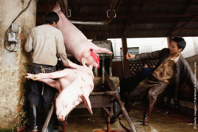 Butchers bleed slaughtered pigs at a slaughterhouse