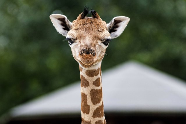 A six-day old baby Rothschild's giraffe stands in the Africa enclosure of the Nyiregyhaza Animal Park in Nyiregyhaza, Hungary, Thursday, August 8, 2019. (Photo by Attila Balazs/MTI via AP Photo)