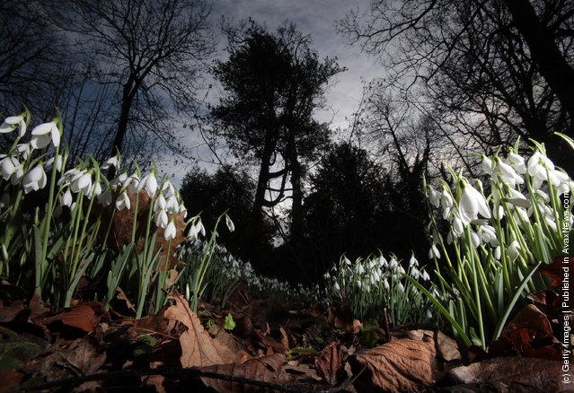 Snowdrops that are already in early bloom are seen at Rococo Gardens in Painswick