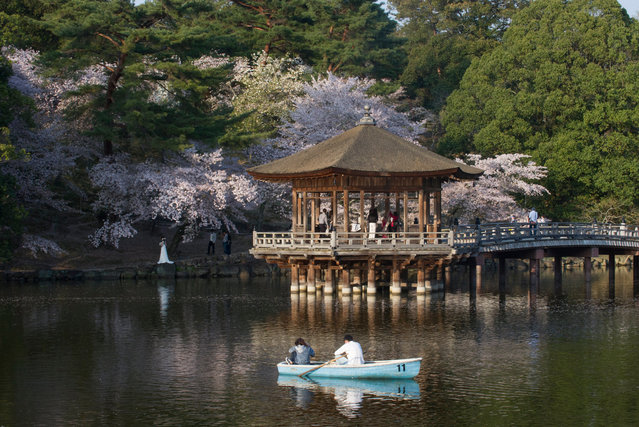 Japanese cherry trees in bloom in a park in Nara city, Nara Prefecture, Japan 14 April 2017. (Photo by Everett Kennedy Brown/EPA)