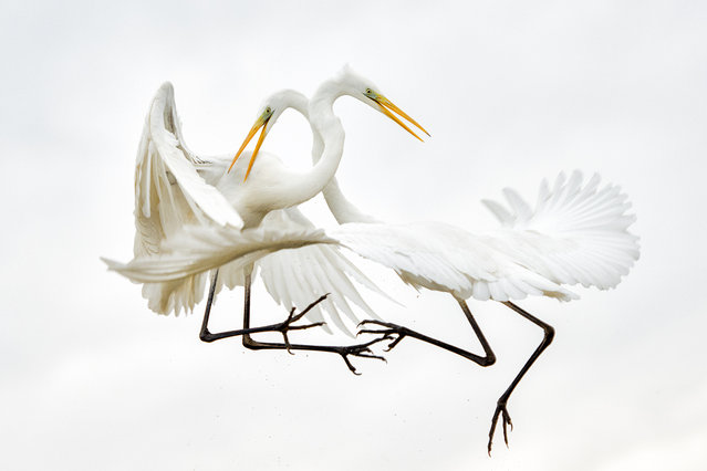 """Great-white Egrets"". Air battle of Great White Egrets in the National Park of Kiskunság, Hungary. Rivalry of the kin is frequent, even if there is no breeding season and they have enough food. Photo location: Kiskunság National Park, Hungary. (Photo and caption by Bence Mate/National Geographic Photo Contest)"