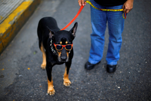 A dog is seen wearing sunglasses on a street in Caracas, Venezuela June 14, 2016. (Photo by Ivan Alvarado/Reuters)