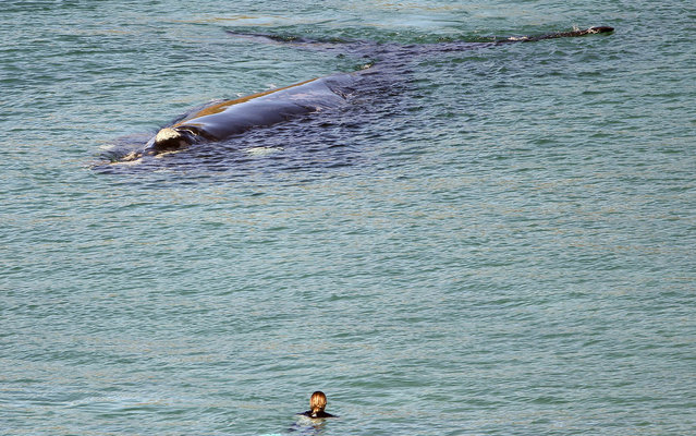 A person watches an adult Southern Right Whale as it swims in the waters off Warriewood Beach in Sydney, Australia, Thursday, July 17, 2014. New South Wales Parks and Wildlife authorities said the 18 meter,  55,000 kg mammal is behaving like a female preparing to give birth. (Photo by Rob Griffith/AP Photo)