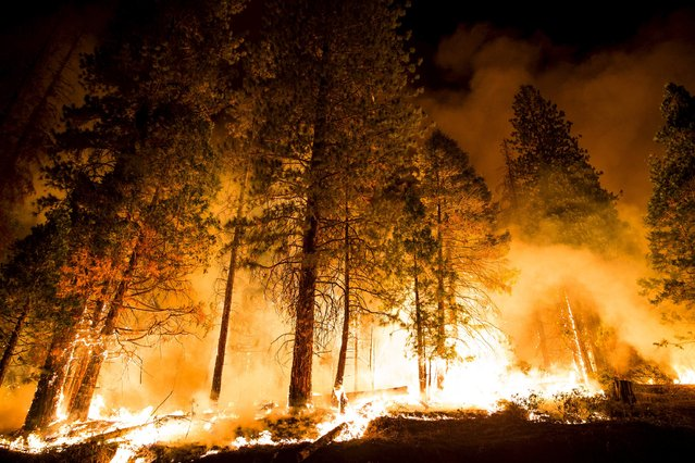 "A controlled burn ignites pine trees on the so-called ""Rough Fire"" in the Sequoia National Forest, California, August 21, 2015. (Photo by Max Whittaker/Reuters)"