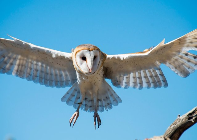 """""""Stunning Silence"""". The quiet approach of the barn owl in Tucson's Arizona-Sonora Desert Museum gave Jon C. Gray, 74, of Alexandria, Va., little time to compose this image in February. (Photo by Jon C. Gray)"""