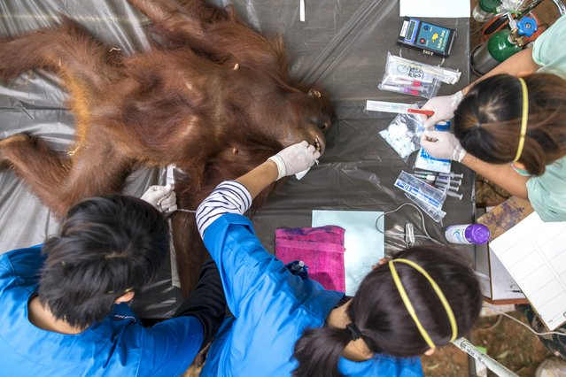Thai veterinarians collect blood sample from an orangutan during a health examination at Kao Pratubchang Conservation Centre in Ratchaburi, Thailand, August 27, 2015. (Photo by Athit Perawongmetha/Reuters)