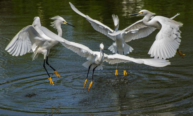 "Third Place, Animals. ""Four Snowy Egrets"". (Photo by Paula Rucket/The Palm Beach Post)"