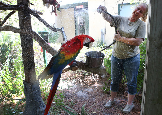 Stephanie Sinnett gives a macaw parrot a gentle shower to help it cool off on Thursday, August 21, 2014 at Zoo World in Panama City Beach, Fla. Workers at Zoo World take extra steps to keep their animals cool on hot days. (Photo by Patti Blake/AP Photo/The News Herald)