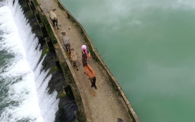 Aerial photo taken on April 23, 2020 shows a villager walking with livestock on a bridge in Longan County, south China's Guangxi Zhuang Autonomous Region. (Photo by Zhou Hua/Xinhua News Agency)