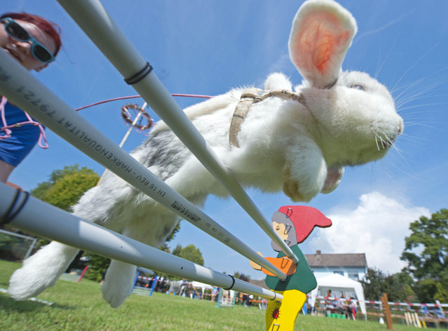 Luisa Riedel's rabbit called Lenny jumps during the Kaninhop (rabbit-jumping) competition in Weissenbrunn vorm Wald, Germany, Sunday, September 7, 2014. (Photo by Jens Meyer/AP Photo)