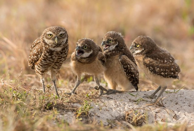 Female Burrowing Owl and Owlets looking exhausted as four of her owlets vie for her attention in Florida. (Photo by Barb D'Arpino/Comedy Wildlife Photography Awards/Barcroft Media)