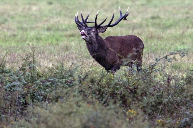 A stag bells in a prairie near Chambord Castle, central France, September 16, 2015. The deer rutting season with the stags belling starts in mid September and runs until the end of October. (Photo by Philippe Wojazer/Reuters)