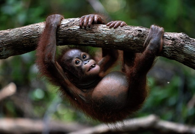 """This picture taken on August 4, 2016 shows an orphan orangutan baby hanging on a tree whilst attending """"jungle school"""" at the International Animal Rescue centre outside the city of Ketapang in West Kalimantan. (Photo by Bay Ismoyo/AFP Photo)"""
