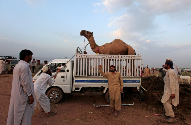 Men pull a sacrificial camel into a vehicle after it was purchased at the animal market ahead of the Eid al-Adha festival in Islamabad, Pakistan, September12, 2016. (Photo by Fayaz Aziz/Reuters)