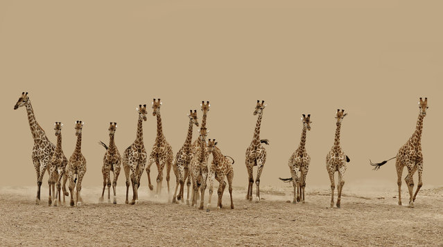 """""""14 giraffes flee after spotting lions in hunting mode"""". (Photo and comment by Frederick van Heerden, South Africa/2013 Sony World Photography Awards"""