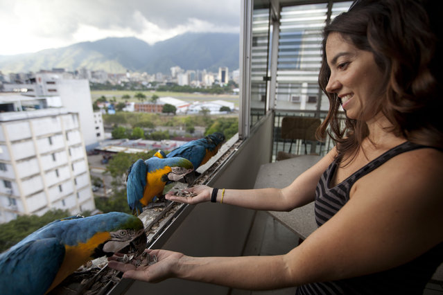 "Vanessa Silva, 38, feeds macaws that fly to her apartment window every day looking for food, in Caracas, Venezuela. A group of gold-and-royal blue birds poked their heads through Silva's window, as if saying ""I'm here, is anyone home?"" ""I'd seen them flying when I was down on the street, and I thought 'Oh how pretty,'"" the 38-year-old said, a macaw eating out of her hand. (Photo by Ariana Cubillos/AP Photo)"